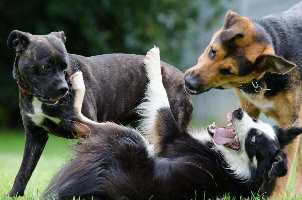 do border collies get along with other dogs
