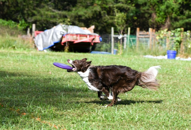 how to take care a border collie