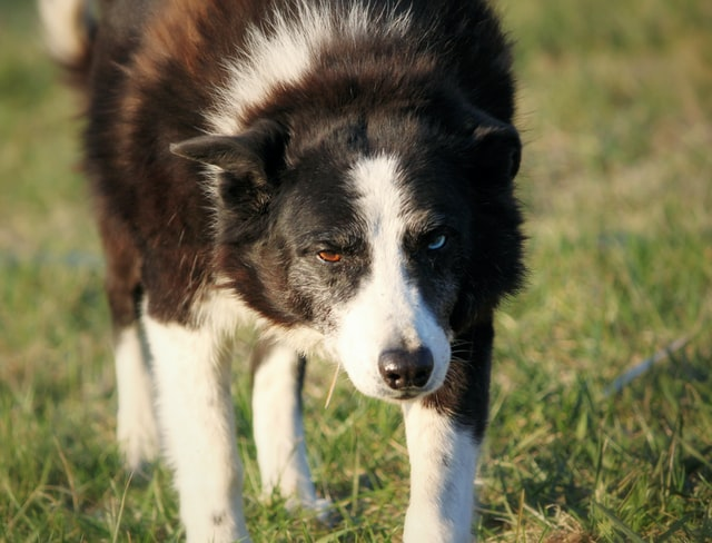 life expectancy of a border collie