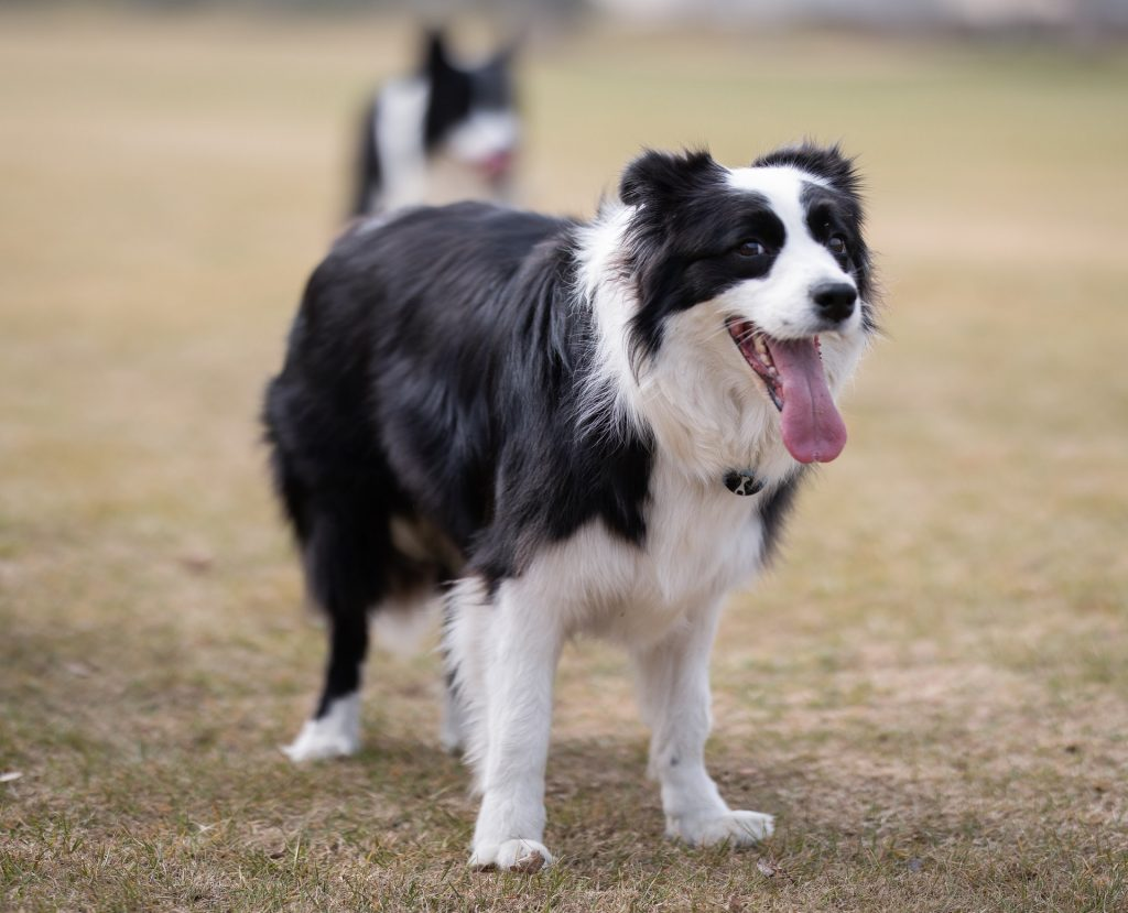 Border Collies as service dogs