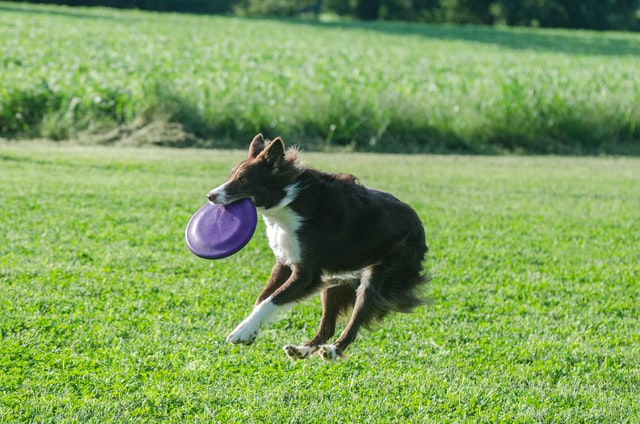 how to keep a border collie busy