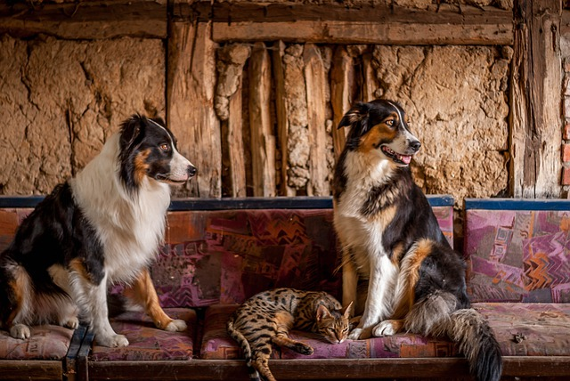 are collies good with cats