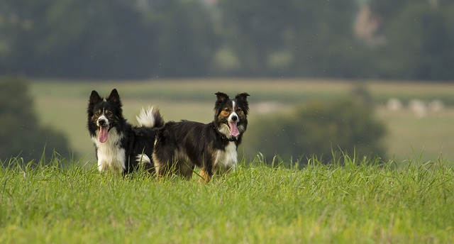 different types of border collie