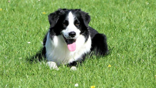 are Border Collies good apartment dogs