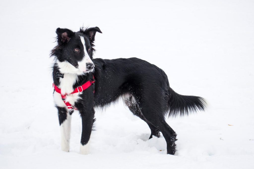 is a border collie a good family dog