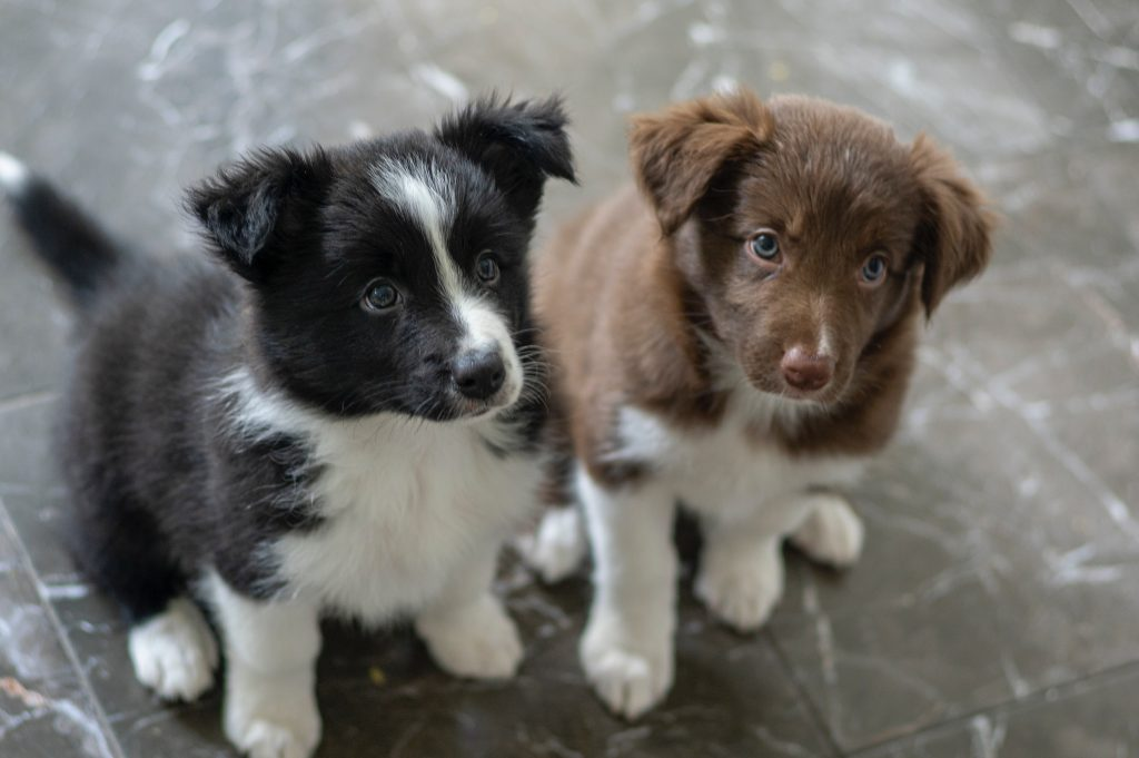 how many puppies do border collies have