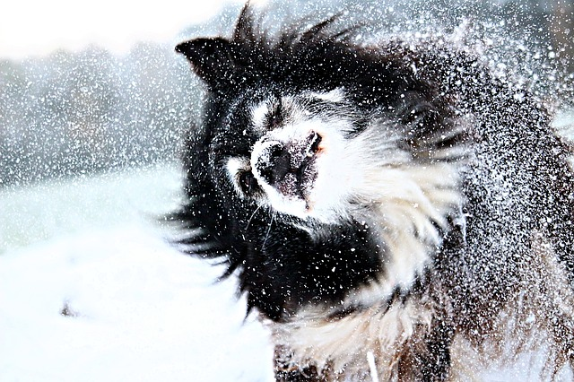 things to know before getting a border collie