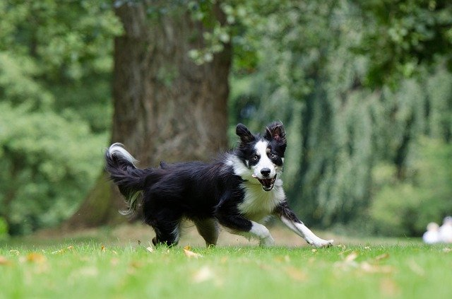 how fast can border collies run