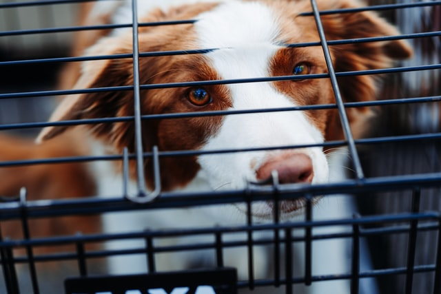 border collie crate size