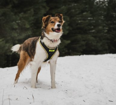 best harnesses for Border Collies