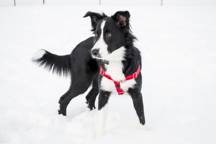 does a border collie shed